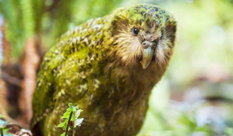 """Découvrez le Kakapo, ce perroquet """"raté"""" de Nouvelle-Zélande ! - Cultea"""