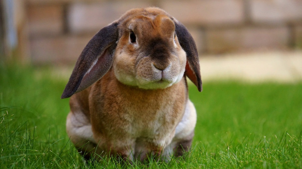 """""""Poser un lapin"""" : quelle est l'histoire de cette expression française ? - Cultea"""