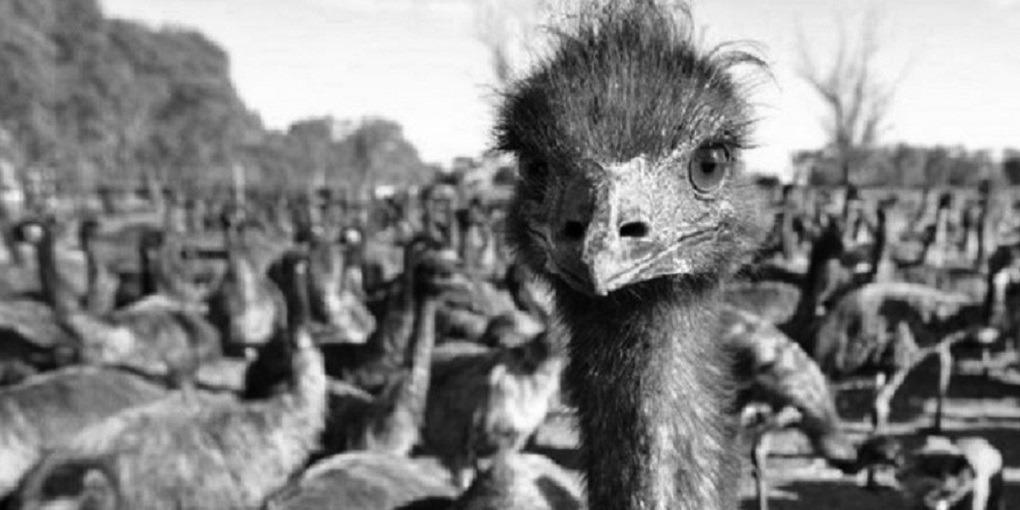 La Guerre des émeus : quand des oiseaux défièrent l'armée australienne
