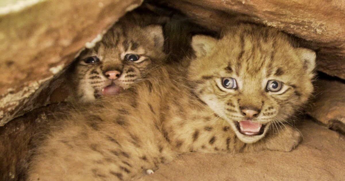 Naissances de lynx sauvages dans les Vosges : les premières depuis 300 ans !